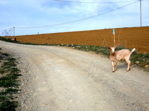 Why did the goat cross the road?