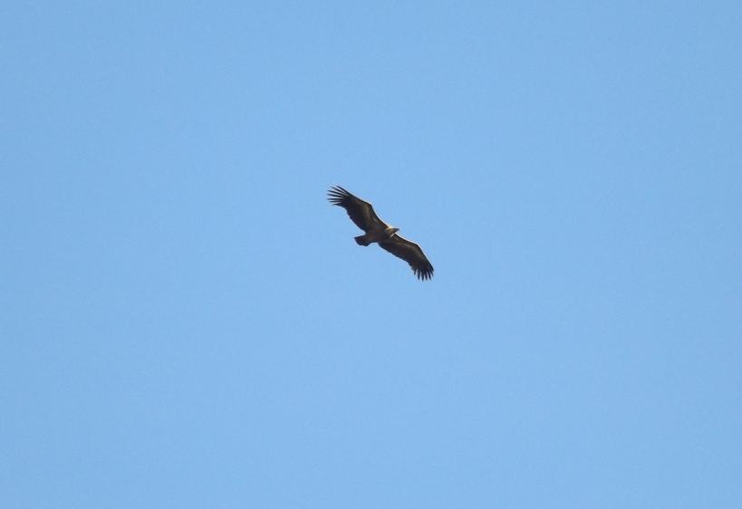 Solo eagle
