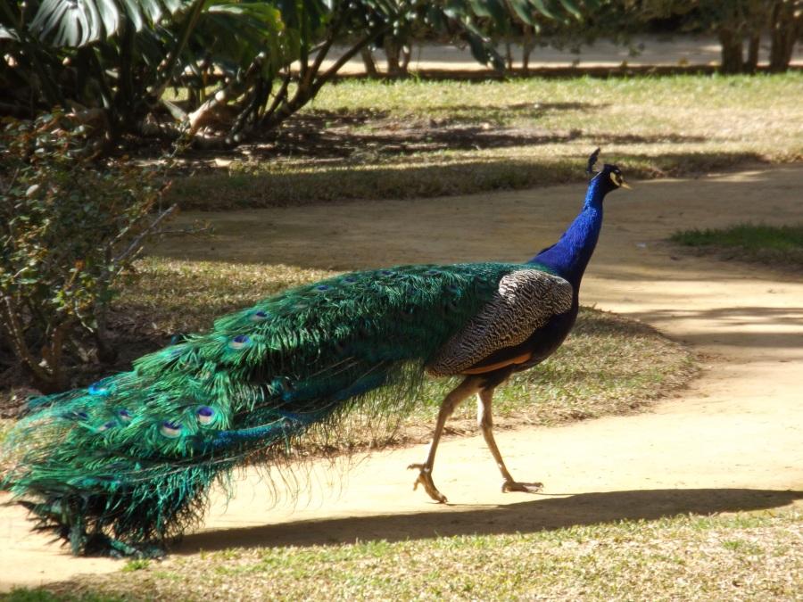 Peacock strutting around the gardens in the Alcázar