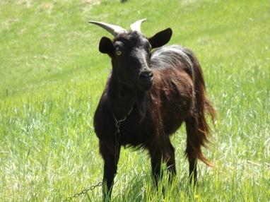 Betty the Goat