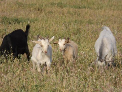 Grazing Goats in Naxos
