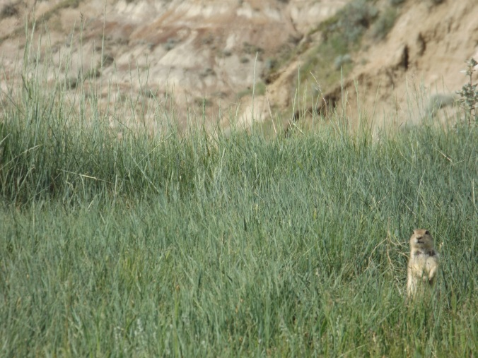 Little prairie dog hiding in the grass near Horse Thief Canyon