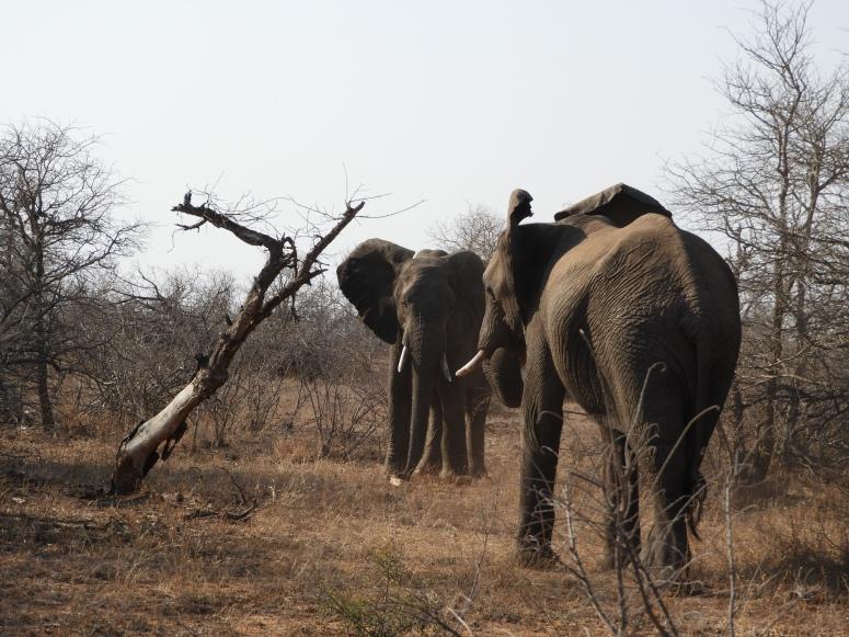 Elephants Tiff Morning Umlani