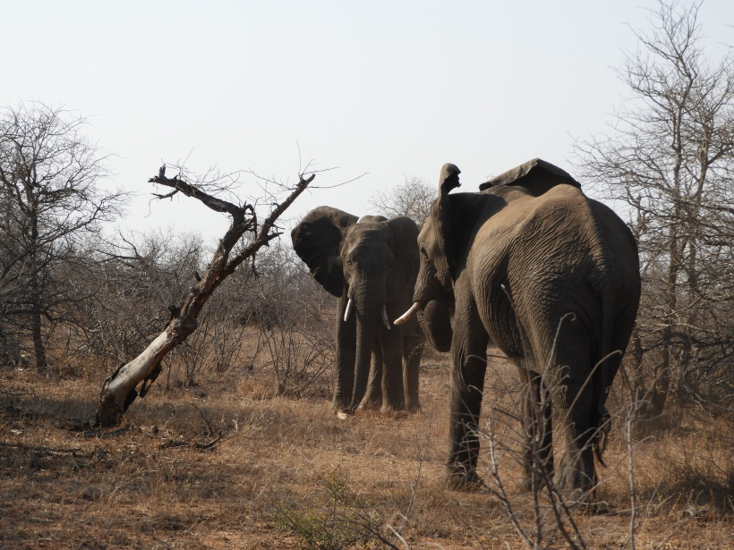 Elephants Tiff Morning Umlani