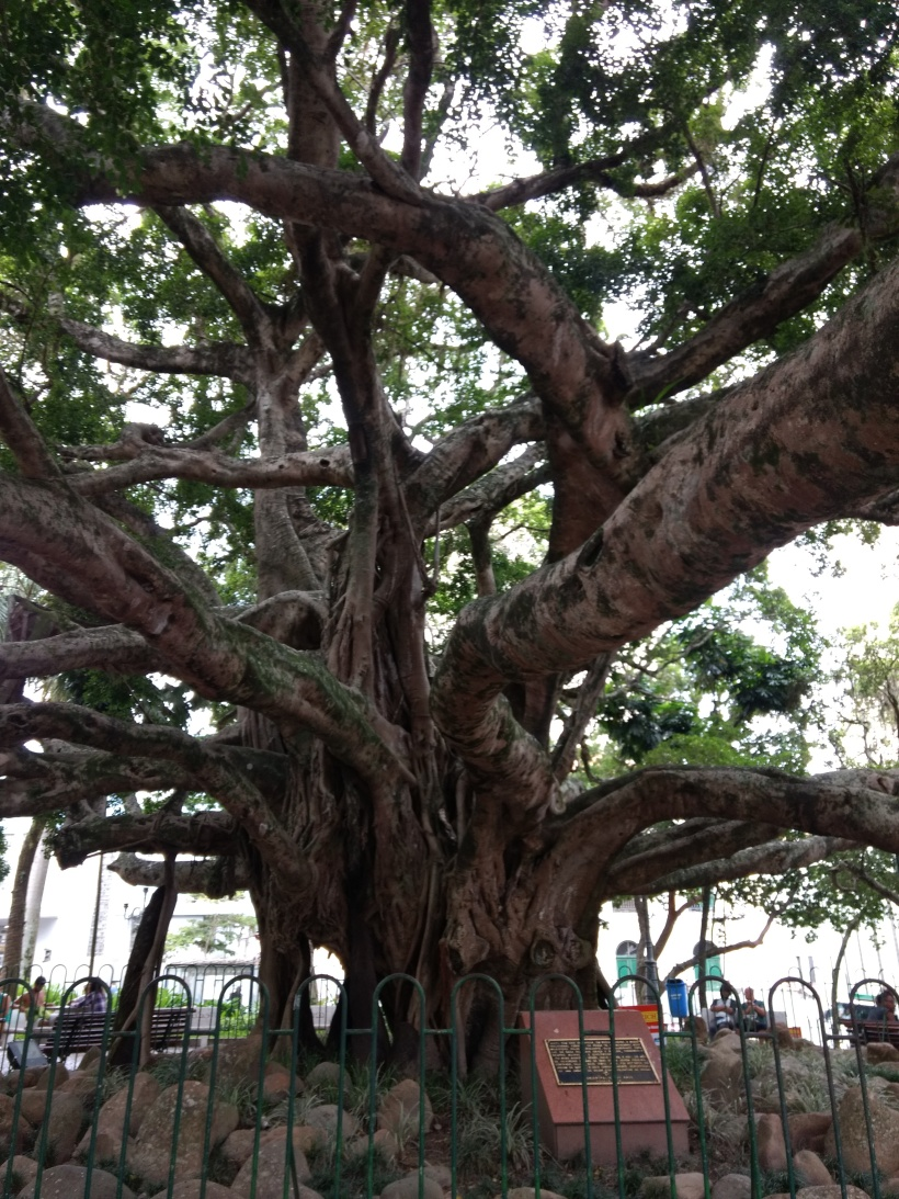 Epic Tree in the Historic Centre of Floripa