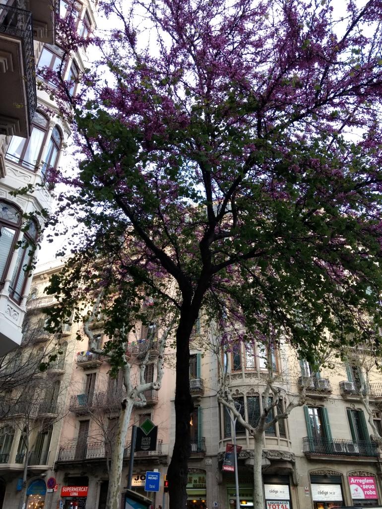 Judas tree in Eixample, Barcelona
